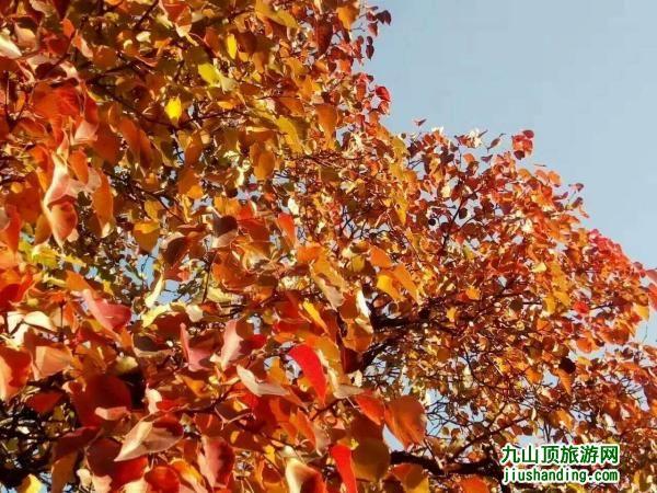 九山顶秋景之红叶